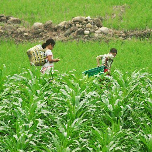 Pulang sekolah bantu mamak ke sawah... Anakindonesia Anakpetani Petani Petani farmer peasant anakdesa child children