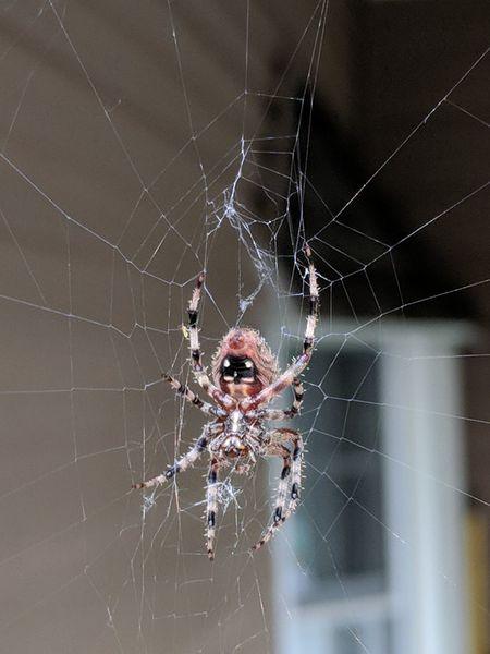 """Charlotte's web, barn spider"" Barn Spider EyeEm Selects Full Length Web Spider Web Spider Animal Leg Portrait Close-up Arachnid Silk Weaving"