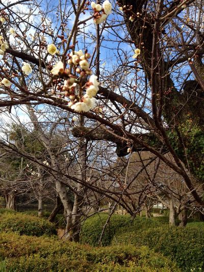 Winter Winter Blossoms Tree Trees And Sky Shurberry Growth Tree Nature Low Angle View Beauty In Nature No People Branch Outdoors Day Sky Close-up Freshness (null)Japan Photography