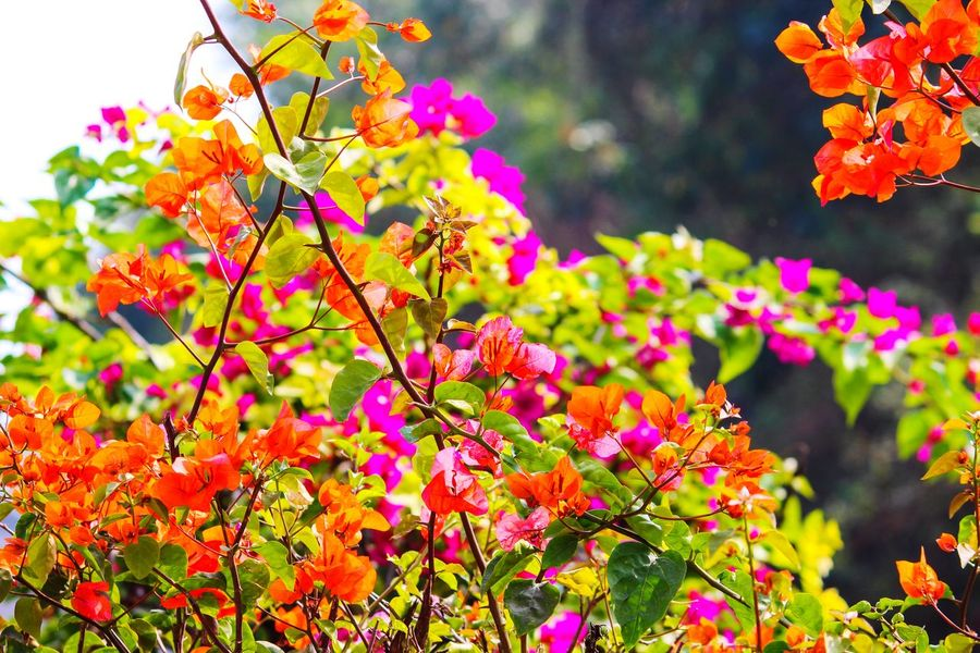 BOUGAINVILLEA... Flower Flower Head Multi Colored Leaf Autumn Beauty Summer Tree Nature Reserve Blossom In Bloom Blooming
