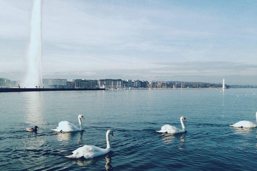 Geneva Lake Sightseeing Swans