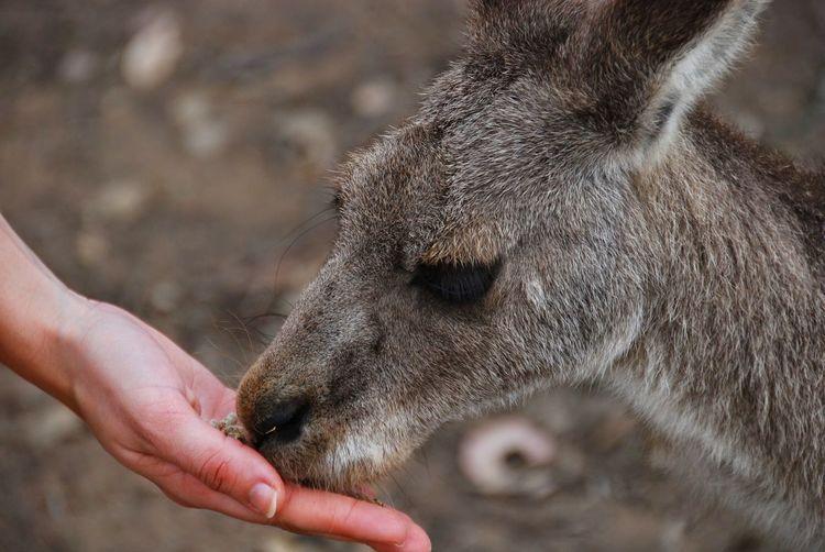 Cropped image of hand feeding kangaroo on field