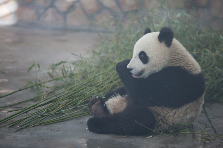 Full length of panda sitting at zoo