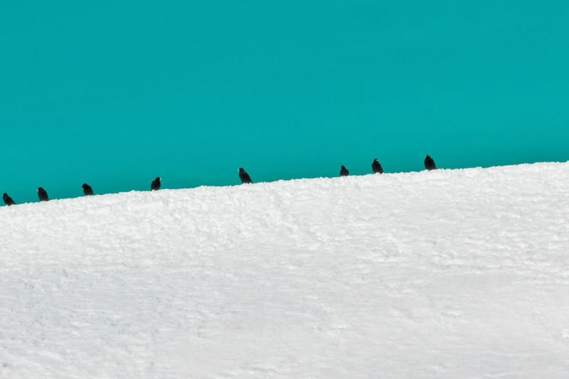 Flock Of Birds Sky Winter Season  Winterscapes Background Turquoise Jackdaw Crow Animal Austria Birds Minimalism Still Life In A Row Animal Themes Animals In The Wild Snow Cold Temperature Sky Colony Group Of Animals Wilderness Alpine Dense Large Group Of Animals 17.62°