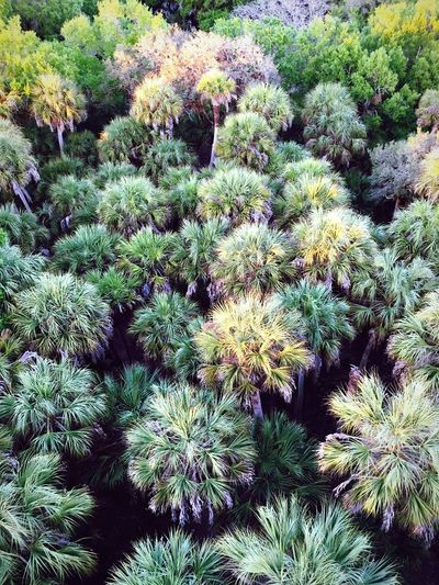 Palms at sunset 🌴 Growth Plant Nature No People Outdoors Full Frame Beauty In Nature Freshness Palm Tree Palm Trees Florida Wild Florida Florida Sunset Florida Photography State Park  High Above Looking Down Green Green Color Forest Forest Photography American South EyeEmNewHere Lost In The Landscape