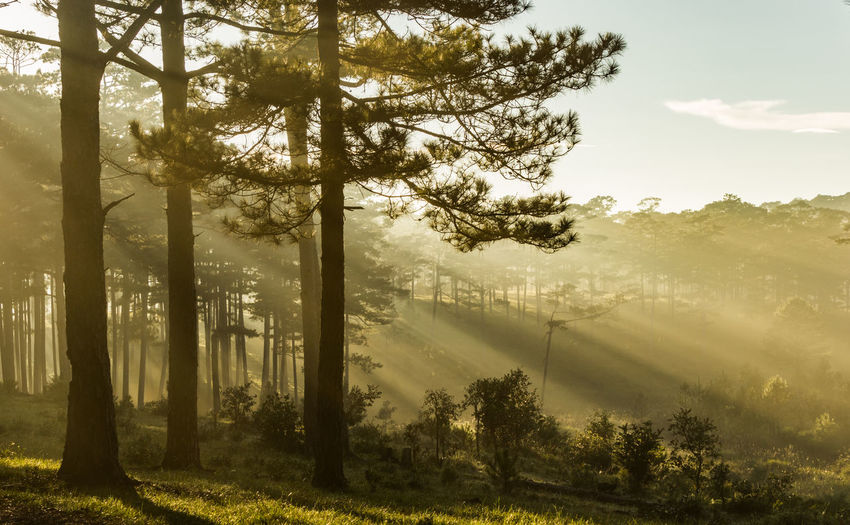 Sunray through a pine wood in the morning. Creative Space Light Pine Ray Wood Beauty In Nature Day Environment Forest Growth Land Landscape Nature No People Non-urban Scene Outdoors Plant Scenics - Nature Sky Sunlight Tranquil Scene Tranquility Tree