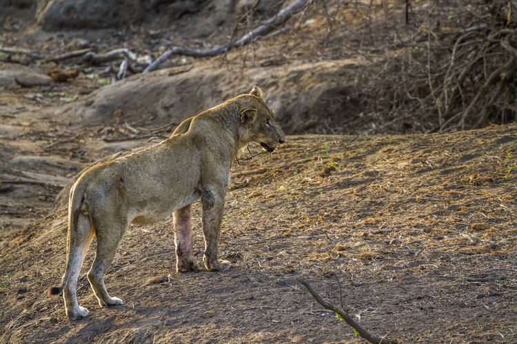 Lioness standing on land