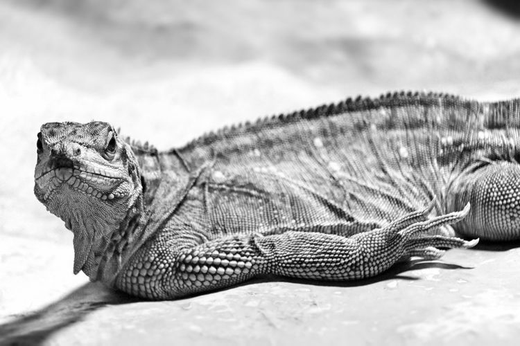 Outdoors No People Day EyeEm Best Shots - Black + White Black And White Blackandwhite Black & White Portrait Animal Photography Animal Portrait Laying Down Relaxing Alertness Front View Looking At Camera Animal Skin Details Of Nature Animal Markings Reptile Photography Lizard Watching Animal Behavior Shadow Bearded Dragon Pets Close Up Reptile Animal Animal Themes One Animal Vertebrate Animal Wildlife Animals In The Wild Lizard Nature Close-up Focus On Foreground Animal Body Part Relaxation Rock - Object Rock Animal Head  Side View Iguana Animal Scale Marine