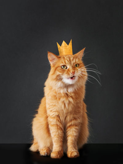 Cat looking away while sitting against black background