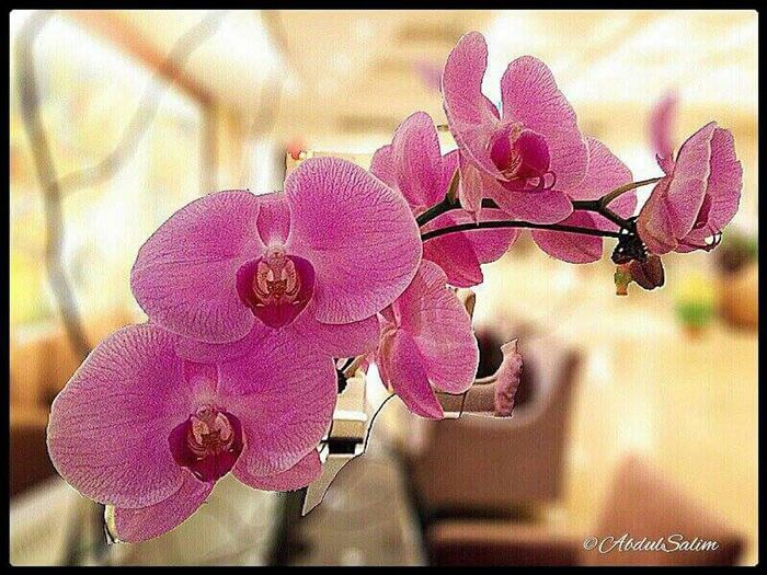 Beautiful Pink Orchids Orchid Blossoms I Love Orchids Iloveorchids OppoFind7a Bokeh Photography Nature_collection Naturelovers Beautiful Nature Eye Em Nature Lover