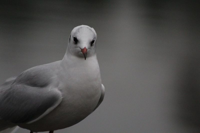 You lookin at me? EyeEm Selects Bird Animal Themes Animals In The Wild One Animal Animal Wildlife No People Beak Seagull Sea Bird Day Nature Close-up Outdoors Perching Mourning Dove Swan