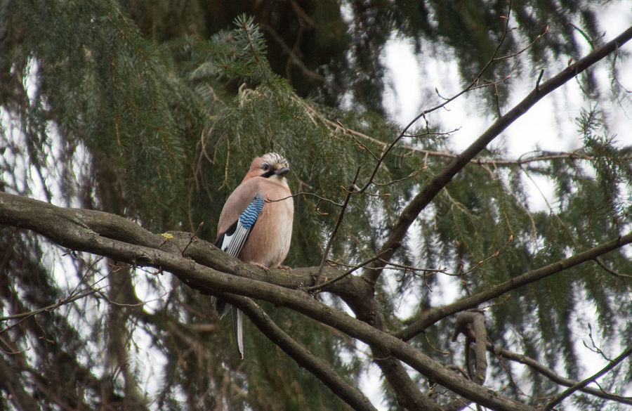 Jay sitting on the tree Animal Themes Animal Wildlife Animals In The Wild Beauty In Nature Bird Bird Photography Bird Watching Birds Of EyeEm  Birds_collection Birdwatching Branch Day Eichelhäher EyeEm Birds Garrulus Glandarius Jay Jay Bird Low Angle View Nature No People Outdoors Perching Tree
