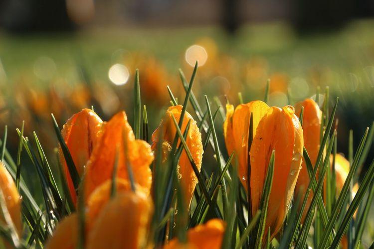 Crocus Flower First Flowers First Flowers Of Spring Flowers Grass Henkuz Orange Color Springtime Colour Of Life