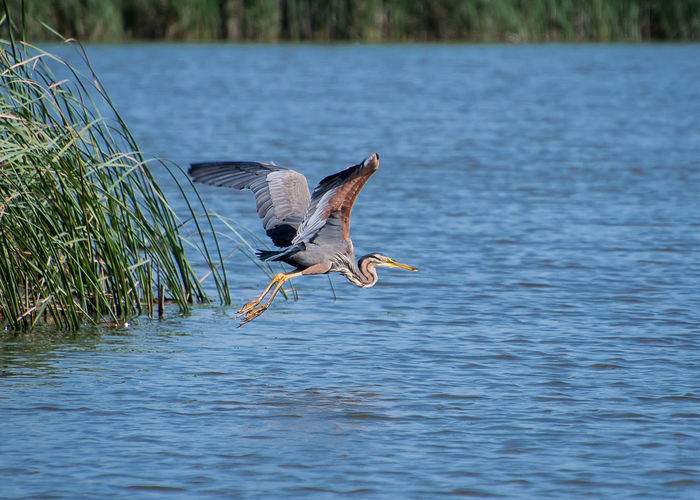 red heron bird