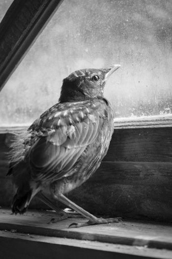 A young robin looks out a window while it rains Young Robin Animal Themes Animal Wildlife Animals In The Wild Bird Black And White Close-up Day Home Interior Indoors  Nature No People One Animal Parrot Perching