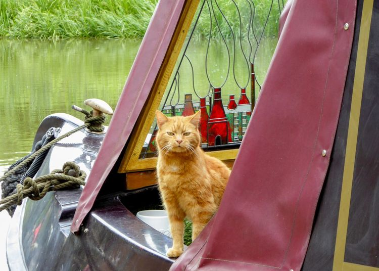 Narrowboat Canal Boat Canal Ginger Tabby Ginger Cat Animal Themes Animal Mammal One Animal Pets Vertebrate Domestic Animals Domestic Cat Domestic Cat Feline No People Sitting Day Nature Water Whisker Looking