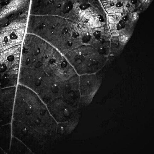 - r a u t m u k a Leaf Waterdrops Blackandwhite BW_photography Bw_style Instabwphoto Instabw Ignature Hitamputih Mobilephoto Mobilephotography Macro Ksagamaksara