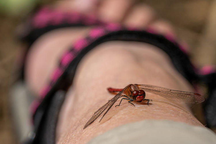 Male red veined darter dragonfly, sympetrum fonscolombii, resting on a woman's leg