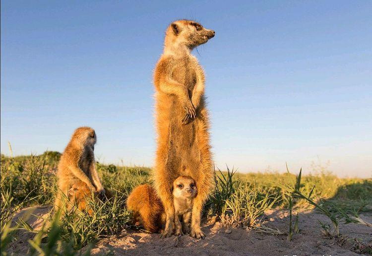 Taking Photos Open Edit Animal Photography Suricate