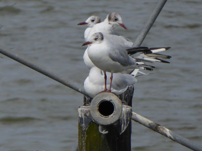 seagull at Steinhuder Meer Möwen Portrait Cheese! Relaxing Hi! Beautiful Nature Birds_collection Birds Of EyeEm