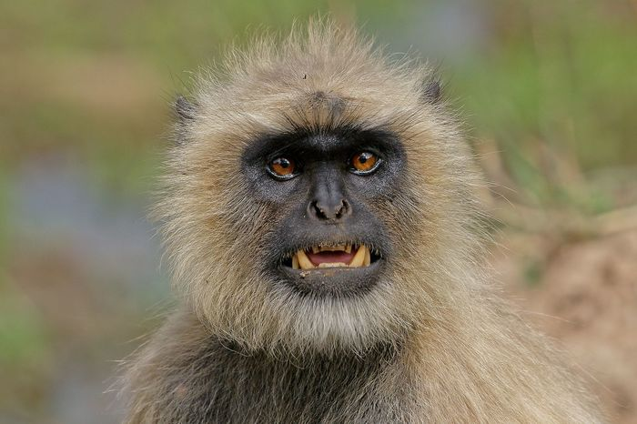 Langur after mud bath saying you humans be away from concrete jungle & stay with mud. Langur Monkey Mud Bath Mammal Wildlife Wildlife Photography Wildlife & Nature