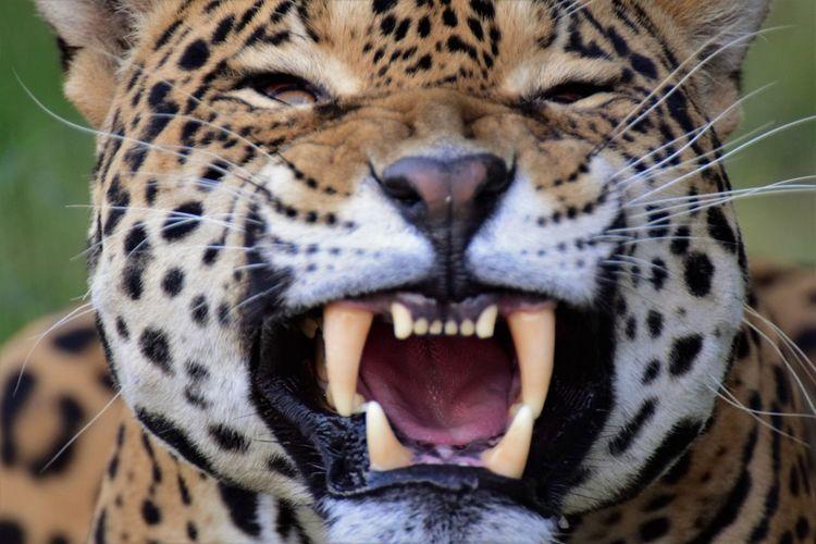 Close-Up Of Jaguar