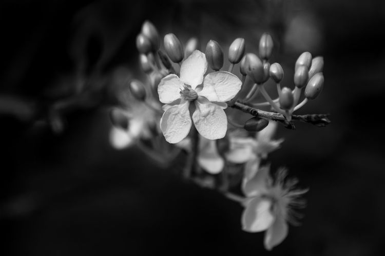 life Tết Apricot Blossom Black And White Blooming Flower Forsythia Flowers Fragility Freshness Growth Nature Petal Vietnamese Flower