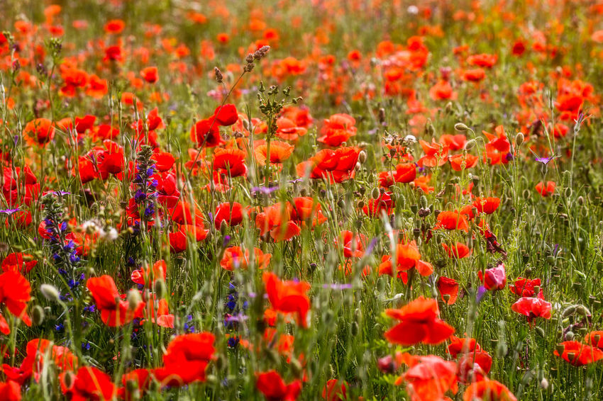 One can almost feel the warm summer breeze and hear the crickets' chirping 🌞🐝🐞🐛🦋🌿🌻🌺 Close-up Countryside Day Field Flower Flower Head Flowerbed Freshness Full Frame Grass Green Color Growth Landscape Nature No People Outdoors Petal Plant Poppy Red Relax Summer Vibrant Color Warmth
