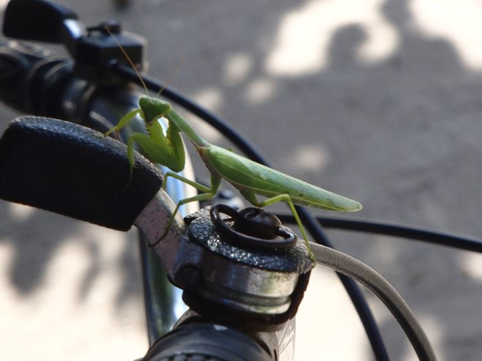 Close-up of praying mantis on bicycle gear knob