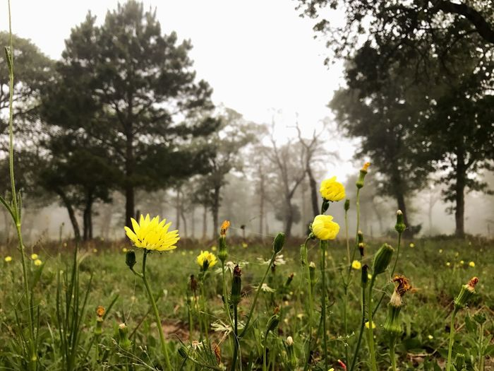 Wildflower Fog Flower Yellow Nature Growth Field Beauty In Nature Outdoors Morning Foggy Morning Texas