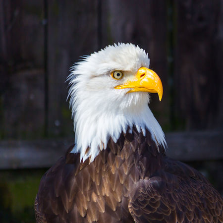 Animal Themes Bald Eagle Bald Eagle Bird Close-up Day Eagle Eagle - Bird Focus On Foreground Haliaeetus Leucocephalus Nature No People One Animal Outdoors Weißkopfseeadler