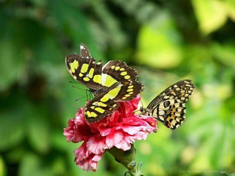 Schmetterlingspark Klütz Schmetterlinge Schmetterling Klūtz Blume Schmetterlingspark Klütz