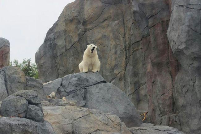 Polar Bear Heathly Coat Tired And Yawning Rocks Wild Animal Wild Animals Morning Needs A Coffee ! Popular Photos Bears