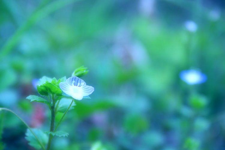 おやすみなさい。 Relaxing Enjoying Life Cloudy Flowers Spring Colours Bokeh Bokeheffect Spring Time 春 Spring Showcase April Hazy Days EyeEm Nature Lover Colors Airy Wildflowers EyeEm Flower Blue Goodnight