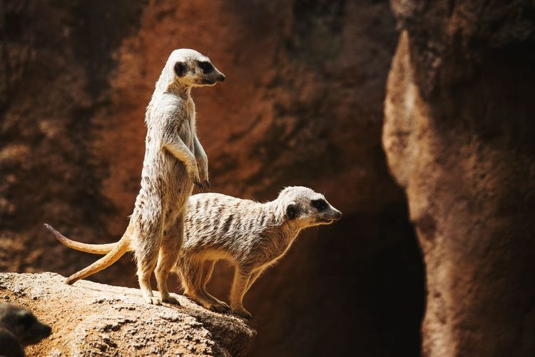 Close-up of meerkats standing on rock