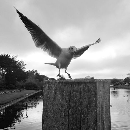 Seagull Taking Off From Wooden Structure Against Cloudy Sky