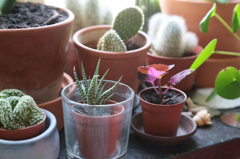 Botanic Cactus Cactus Cactus Collection Cactuses Close-up Collection Day Freshness Growth Growth Process Herb In The Window Indoors  Mud Nature No People Plant Plant Plants And Flowers Pots Potted Plant Potted Plants Soil Table