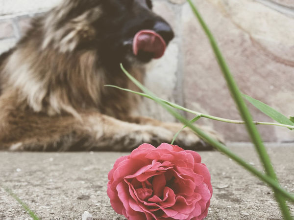 my beautiful dog <3 Animal Beauty In Nature Blossom Close-up Day Dog Flower Flower Head Focus On Foreground Fragility Freshness In Bloom Nature No People Outdoors Petal Pink Color Red Rosé Springtime Tounge Out  Vintage
