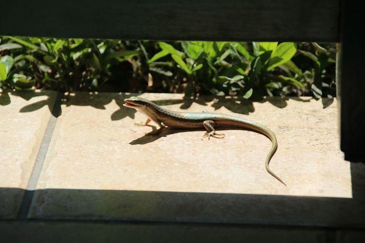 Gecko Lizzard
