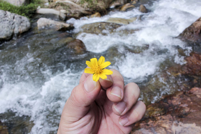 Beauty In Nature Close-up Day Flower Flower Head Fragility Freshness Hand Holding Flower Holding Human Body Part Human Hand Lifestyles Nature One Person Outdoors Real People Rock - Object Water Yellow Yellow Flower