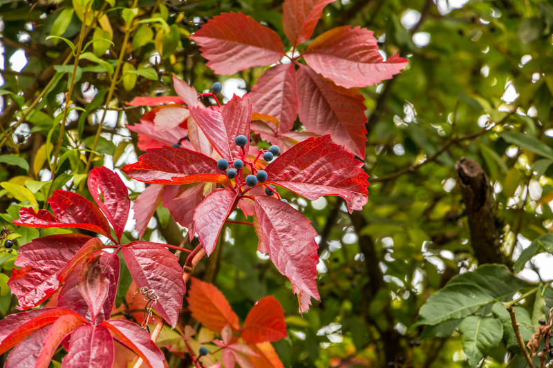 Red leaves of wild wine in the garden Animal Themes Animals In The Wild Beauty In Nature Branch Close-up Day Flower Flower Head Focus On Foreground Fragility Freshness Green Color Growth Leaf Nature No People One Animal Outdoors Petal Plant Red Tree