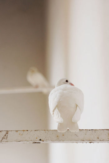 Doves perching on metal