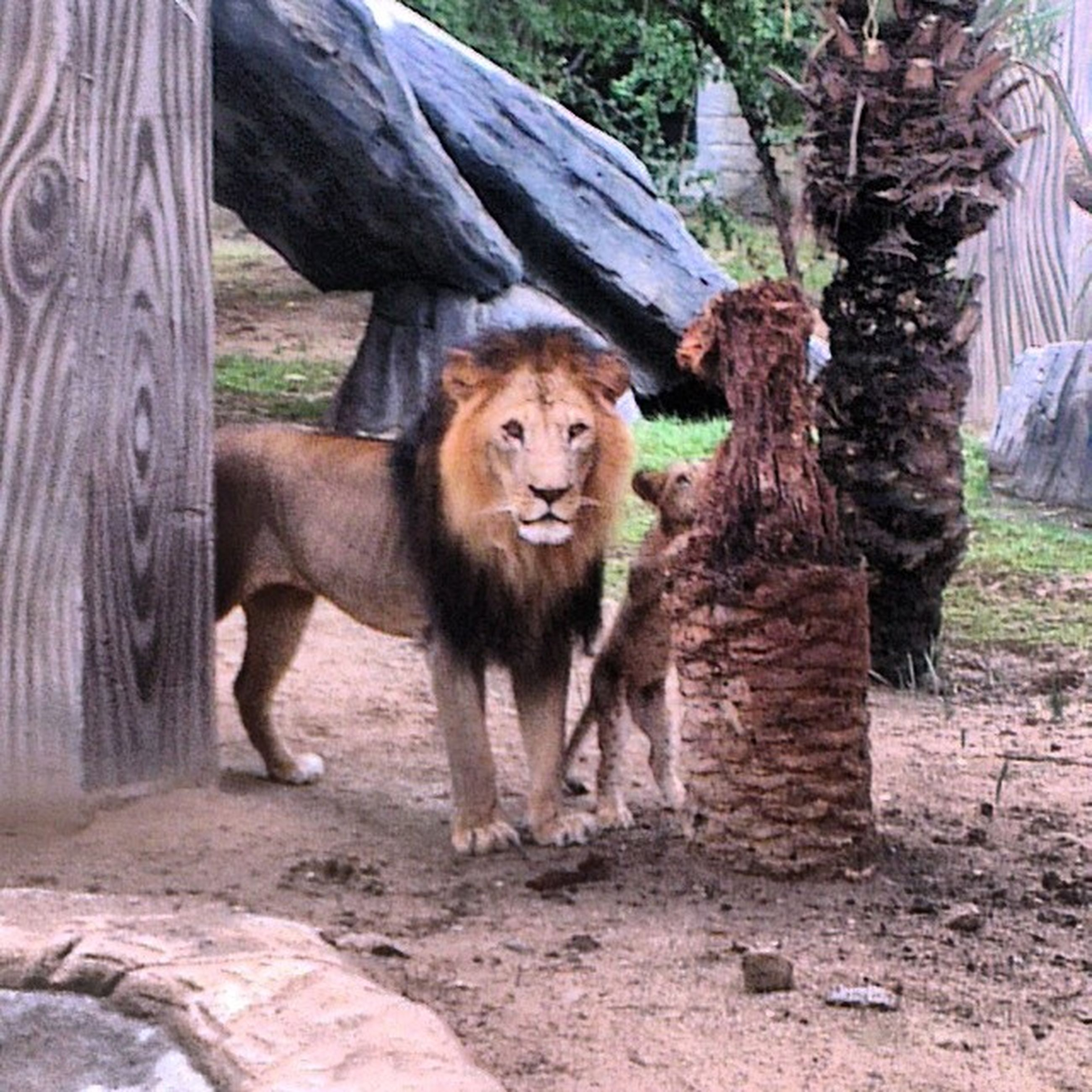 animal themes, mammal, one animal, animals in the wild, wildlife, tree, zoo, portrait, standing, domestic animals, looking at camera, animals in captivity, full length, day, two animals, outdoors, nature, sunlight, livestock, herbivorous