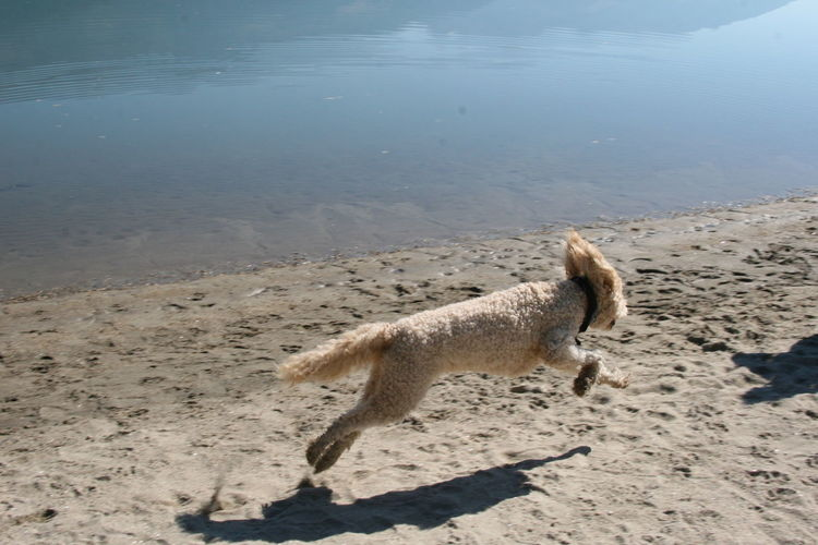 Free At Last Dogslife Labradoodle Australian Labradoodle Columbia River Columbia River, British Columbia Riverbank I Love My Dog I'm Free