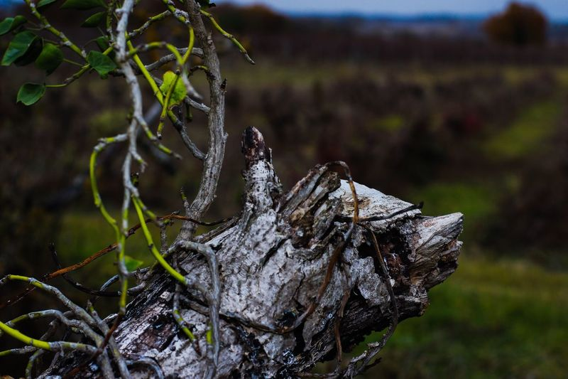 Nature Focus On Foreground Outdoors No People Tree Trunk Tree Day Close-up Wood - Material Growth Tree Stump Forest Dead Tree Beauty In Nature