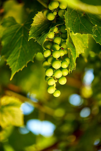Close-up of grape growing in vineyard