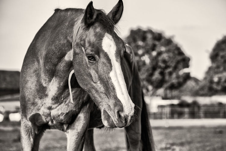 Lonely horse in B&W Animal Themes Mammal Animal Domestic Animals One Animal Animal Wildlife Horse Domestic Livestock Focus On Foreground Pets Animal Body Part Vertebrate Animal Head  Close-up Day No People Standing Nature Working Animal Herbivorous Ranch