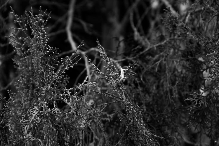 A tiny feather got caught on a branch Plant Growth Nature Beauty In Nature No People Focus On Foreground Close-up Tree Day Selective Focus Tranquility Outdoors Land Cold Temperature Freshness Wet Fragility Vulnerability  Lichen Monochrome Blackandwhite Branch Feather  Cold Coniferous Tree