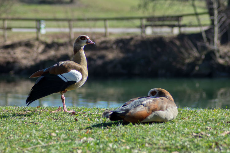 Bird Animal Themes Vertebrate Animal Animals In The Wild Group Of Animals Animal Wildlife Nature Two Animals Grass Water Day Lake Plant Selective Focus No People Land Focus On Foreground Field Outdoors Duck Animal Family