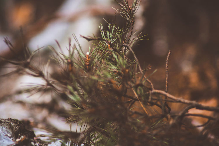 Plant Growth Selective Focus No People Nature Close-up Day Tree Beauty In Nature Focus On Foreground Tranquility Outdoors Branch Green Color Pine Tree Needle Coniferous Tree Needle - Plant Part Freshness Land Fir Tree Spiky Winter Forest Uncut